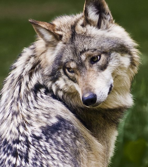 Mexican Wolf (endangered status: critical) by ѕhadowdancer, via Flickr