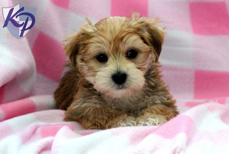 Douglas Dog Knitting Pattern : Cody   Morkie Puppies for Sale in PA Keystone Puppies Cute pictures Pin...