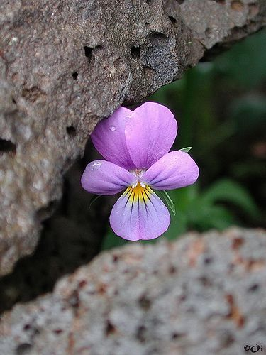 Viola--these little beauties pop in all sorts of spaces.