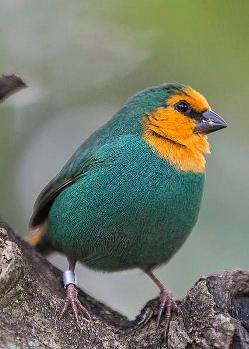 Sea Green Parrot Finch ~ Beautiful!