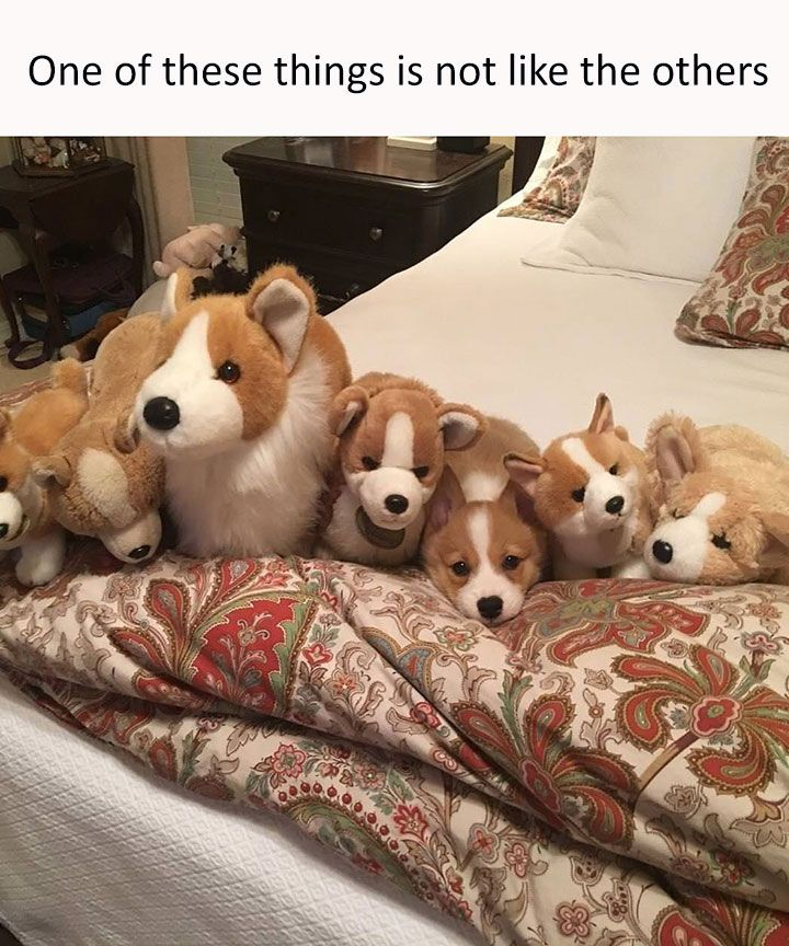 Best Corgi Meme Ideas On Pinterest Funny Puppies Puppy Meme - 20 ridiculously squishy dog cheeks that will make your day