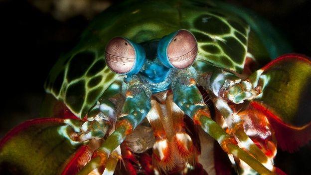 El camarón mantis pavo real tiene uno de los sistemas visuales más complejos