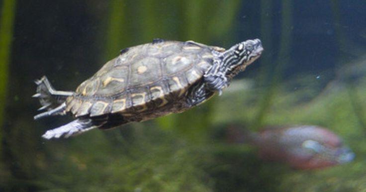 Como alimentar uma tartaruga hieroglífica bebê?. A tartaruga hieroglífica -- cientificamente conhecida como Graptemys pseudogeographica, também conhecida como tartaruga corcunda do Mississipi e tartaruga de casco-de-serra -- possui um casco cinza-esverdeado com espinhas protuberantes, que dá a aparência de um casco de serra. A tartaruga hieroglífica convive bem em um aquário com outras ...