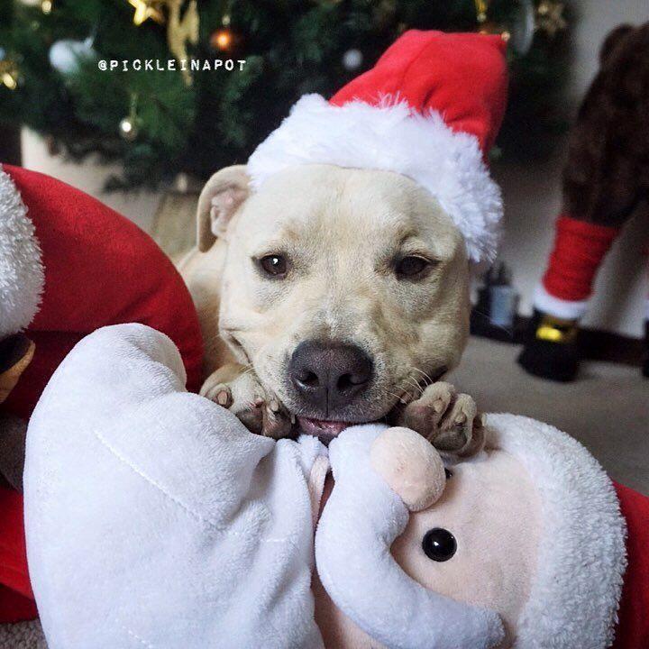This pitbull pup is feeling festive.   www.bullymake.com via: @pickleinapot
