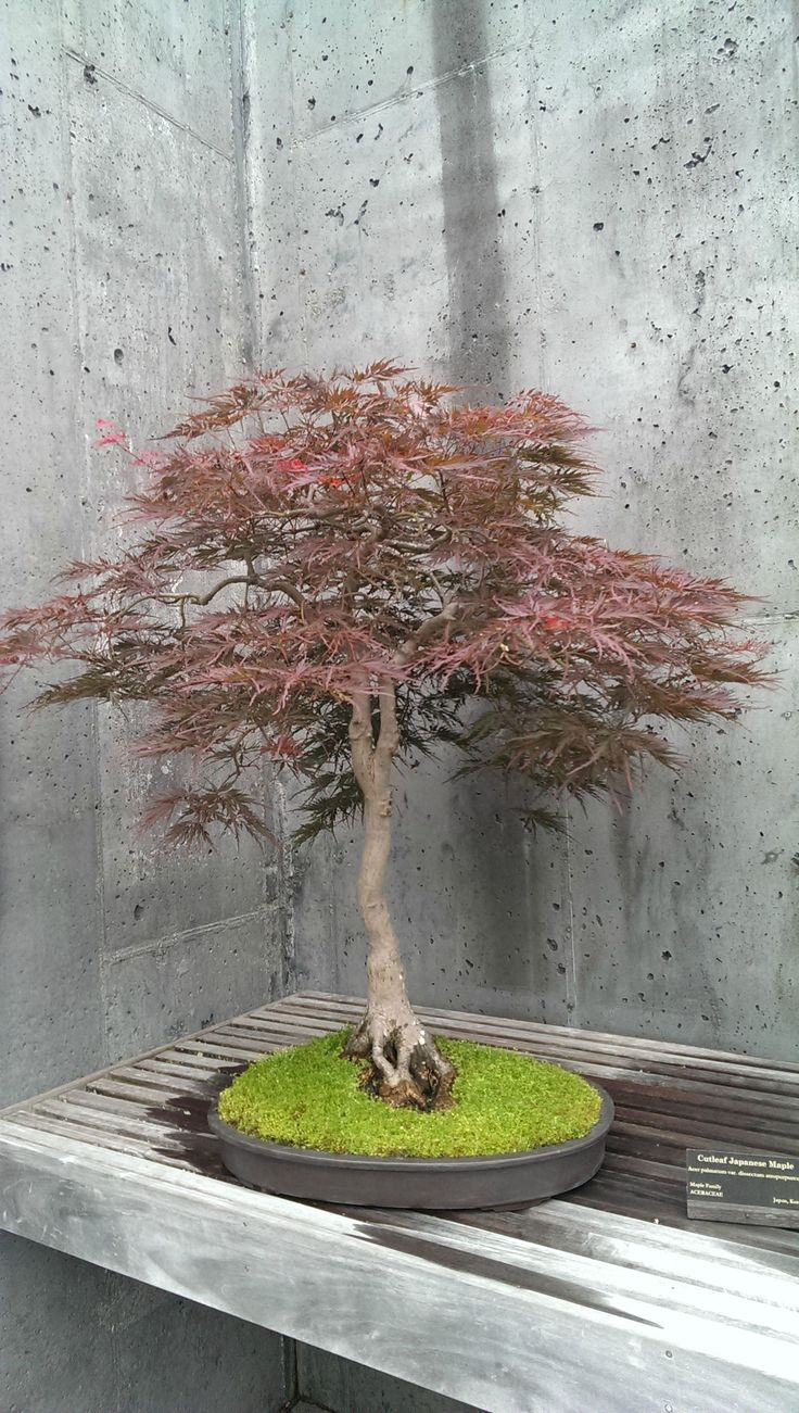 1000 Images About Bonsai Love For On Pinterest