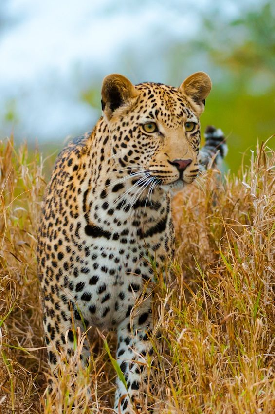#Leopard, South #Africa