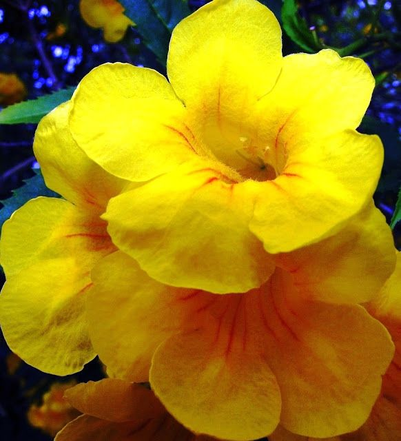 The Bahamas Is An Island Country Situated In Caribbean The National Flower Of The Bahamas Is The Yellow Elder Flower Evergreen Flowers Flowers Types Of Flowers
