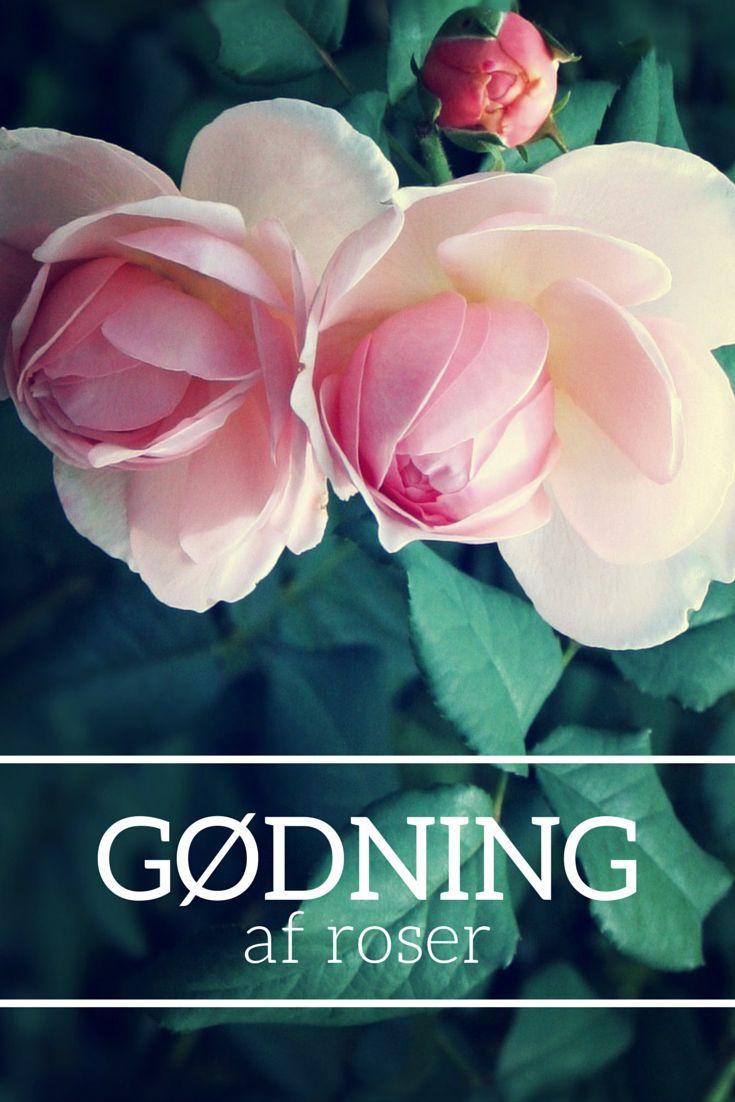 Gødning af roser. #roser #rose #roses #fertilizer #gødning #gødskning #gøde #pasning #kompost #rosengødning #plantoramadk