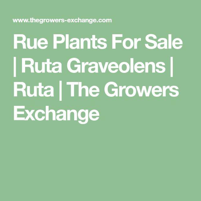 Rue Plants For Sale   Ruta Graveolens   Ruta   The Growers Exchange