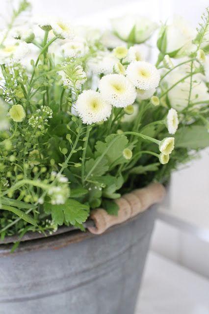 Valkoiset kaunokaiset ja sinkkiastia - i h a n a ♥ White Bellis Prennis English Daisy flowers in zinc container.