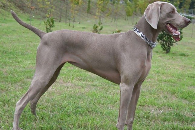 Weimaraner Puppies For Sale From Reputable Dog Breeders Timberlyn Farms Kennels Stables Akc Certified Weimaraner Weimaraner Dogs Weimaraner Puppies Weimaraner