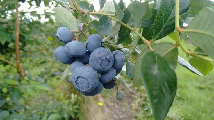 Blueberry Farm, Norfolk