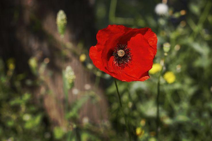 https://flic.kr/p/2117J56 | Poppies | Mount Lycabettus, Athens, Attica, Greece
