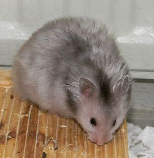 Syrian Hamster Longhair Satin Heterozygot Silver Grey (Sgsg)   Wonderland's Hamstery