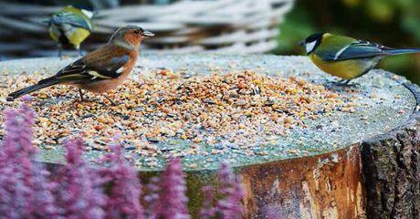 Lang was de regel: vogels alleen voeren in de winter. De laatste inzichten laten zien dat de vogelstand juist sterker wordt met doorlopend bijvoeren. Vogels gebruiken namelijk in ieder seizoen veel energie. In de lente bij het nestelen en eieren leggen, in de zomer brengen ze hun jongen groot, in de herfst bouwen ze reserves op voor de koude maanden en in de winter moeten ze zich warm zien te houden. Tip: Voer dagelijks op een vaste tijd. Vogels wennen eraan en weten wanneer het etenstijd…