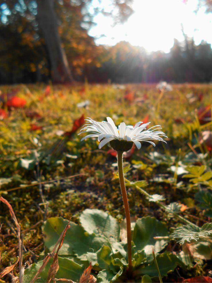 Autumn. Flower. Sunshiny. Őszi napfürdőző kis virág a Fiumei úti sírkertben.