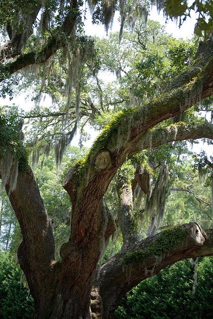Lovely enchanting oak tree with spanish moss ~ Wilmington, North Carolina