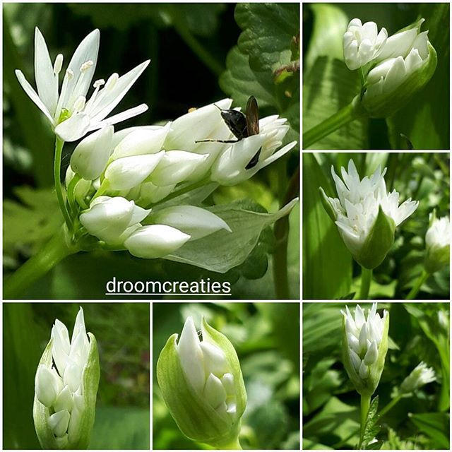 The white agapanthus in the stages of growth!   #agapanthus #white #wildflowers #flowershot #flower #growth #droomcreaties