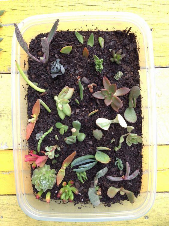 Little Bit Funky: How to Propagate Succulents! {or how to make more succulents from other succulents}