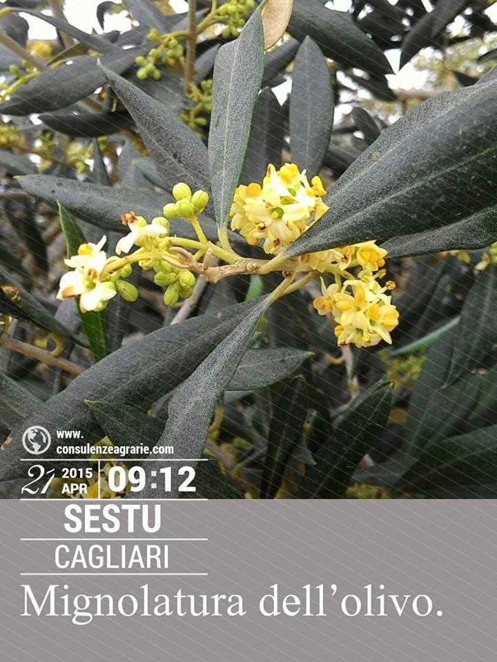 Uno dei momenti più importanti per la produzione olivicola è rappresentato dalla mignolatura (fioritura dell'olivo). La tecnica ci viene in aiuto per favorire la maturazione del polline.
