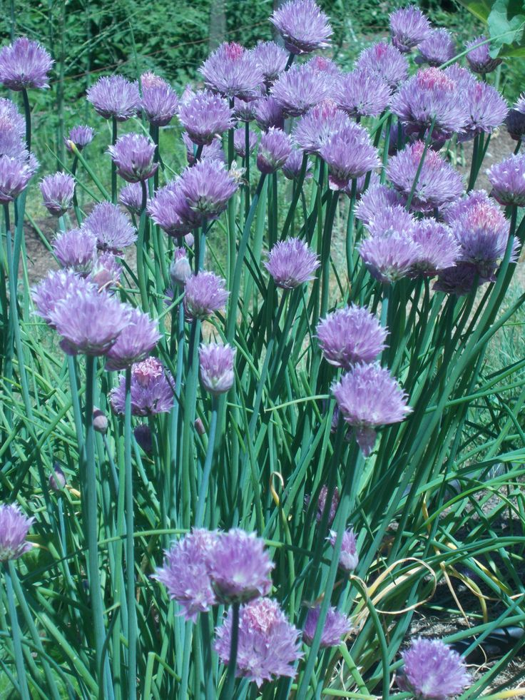 Chive seeds  for herb and vegetable gardens, fresh herbs. by TheGiftedTomato on Etsy https://www.etsy.com/listing/119160852/chive-seeds-for-herb-and-vegetable
