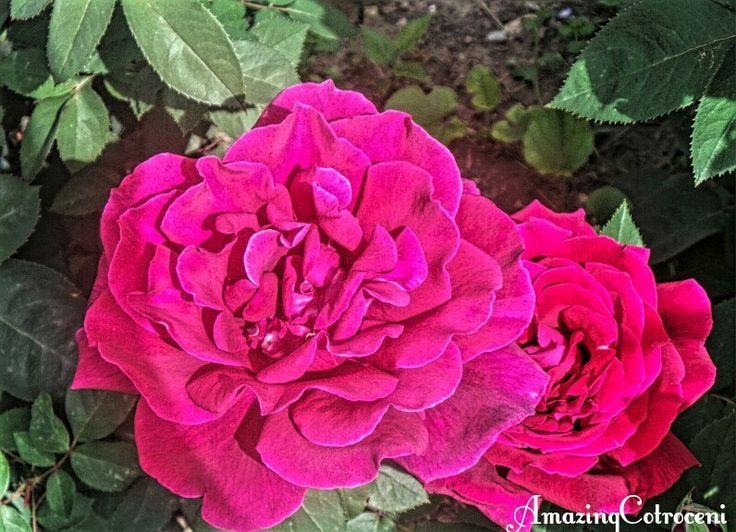 Beautiful magenta roses