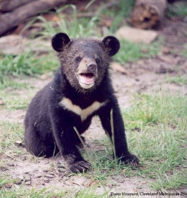 Asiatic black bear cub
