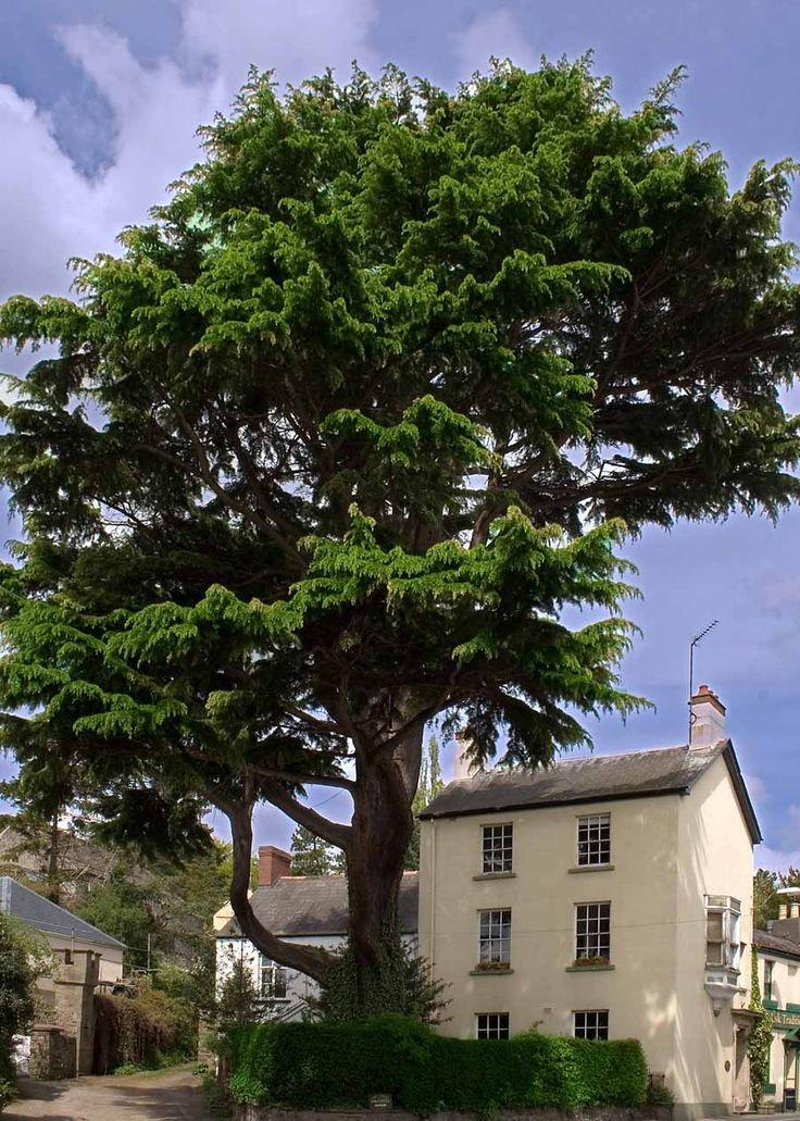 Usk Tree