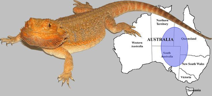 BEARDED DRAGON (Pogona vitticeps). Natives of the Australian desert.