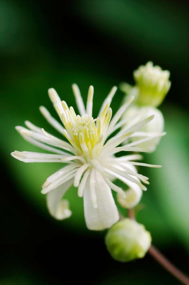 Bach Flower Essence Clematis Clematis Vitalba Bach Flowers Flower Essences Clematis