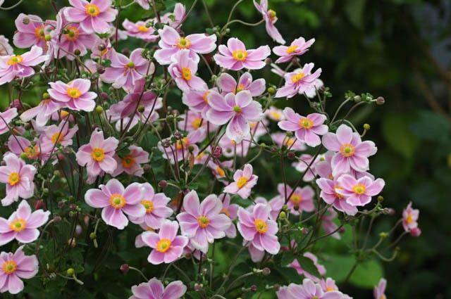 Anemone x Hybrida 'Robustissima', Japanese Anemone Robustissima', Windflower 'Robustissima', Anemone tomentosa 'Robustissima', Grapeleaf Anemone 'Robustissima', Late summer perennial, Pink flowers