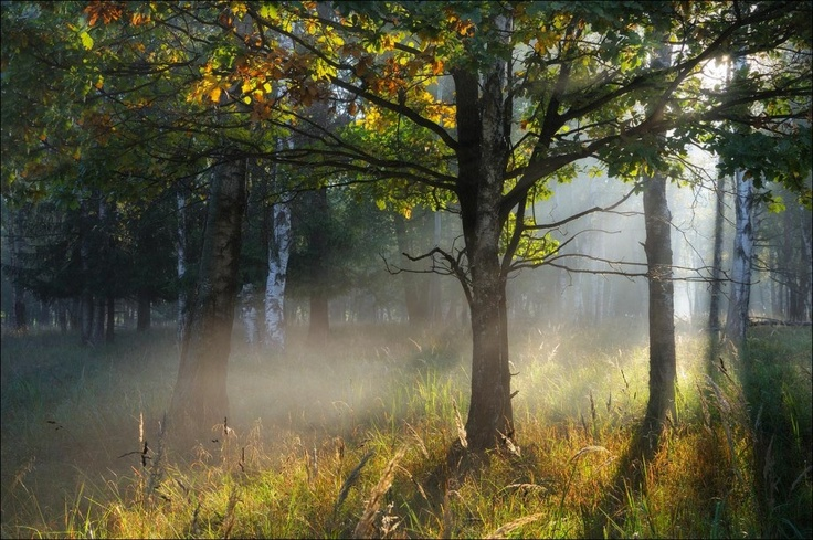 Morning  in the forest | forest, autumn, birch tree, morning