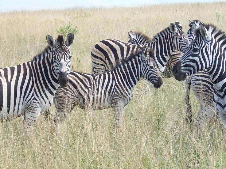 #Zebra in Tala game reserve