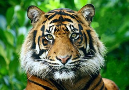 No two tigers have exactly the same pattern of stripes.