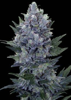 Royal Queen cannabis seed bank has created the much anticipated auto-flowering Northern Lights.  Known for its bountiful harvests, Auto Northern Lights is no exception.  Harvests of over 200 grams per plant can be expected.
