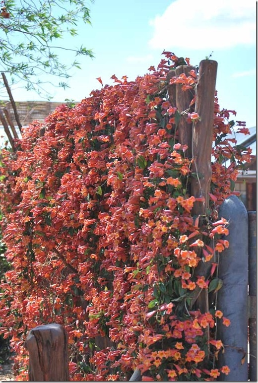 29 best images about climbing plants on pinterest for Evergreen climbing plants for privacy
