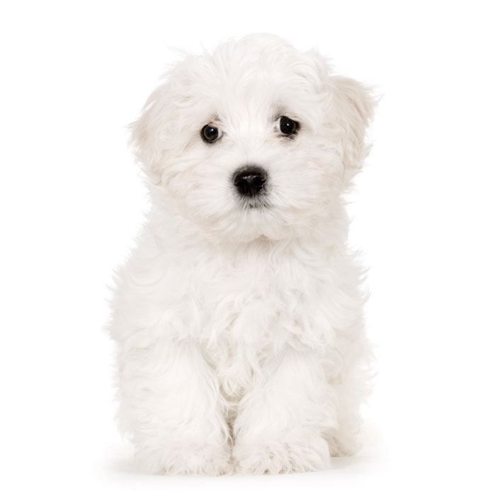 Cute Maltese pups like this one deserve unique Maltese dog names chosen for just this breed Here>>> http://www.dog-names-and-more.com/Maltese-Names.html