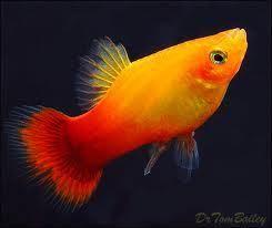 SUNSET PLATTIES/RED WAGTAIL PLATTIES,PLATY STUNNING TROPICAL FISH