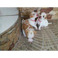 Vendo Adorables Perritos Chihuahua