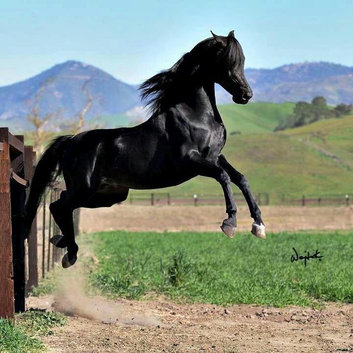 Arabian   Horse   Pinterest
