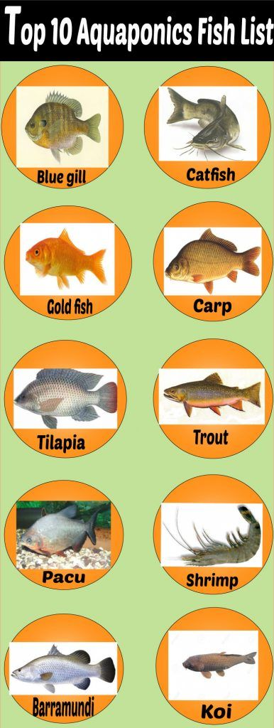 Aquaponics fish species aquaponics fish pinterest for Best fish for hydroponics