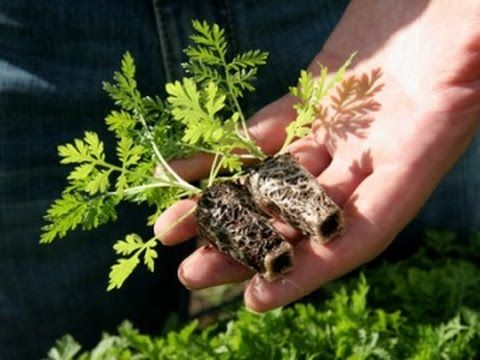 Трава которая дарит жизнь и убивает 98 процентов раковых клеток 3 секрет...
