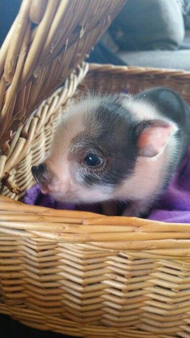 Mini Pocket Pigs www.minipocketpigs.com