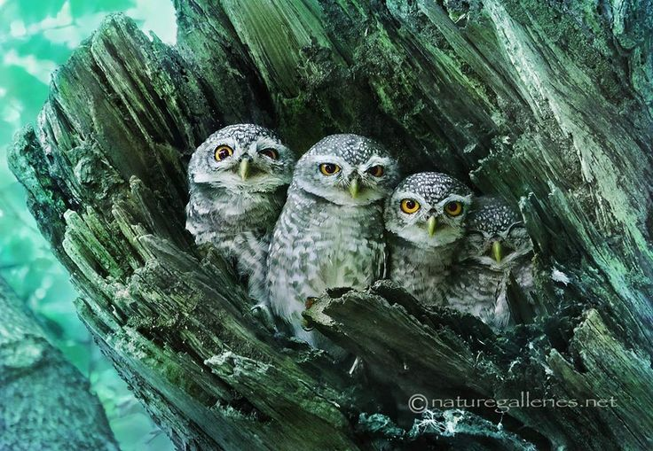 Spotted Owl Family: Wild Animal, Owl Baby, Wildlife Photography, Baby Owl, Owl Photo, Beautiful Birds, Families Portraits, Owls, Animal Funny