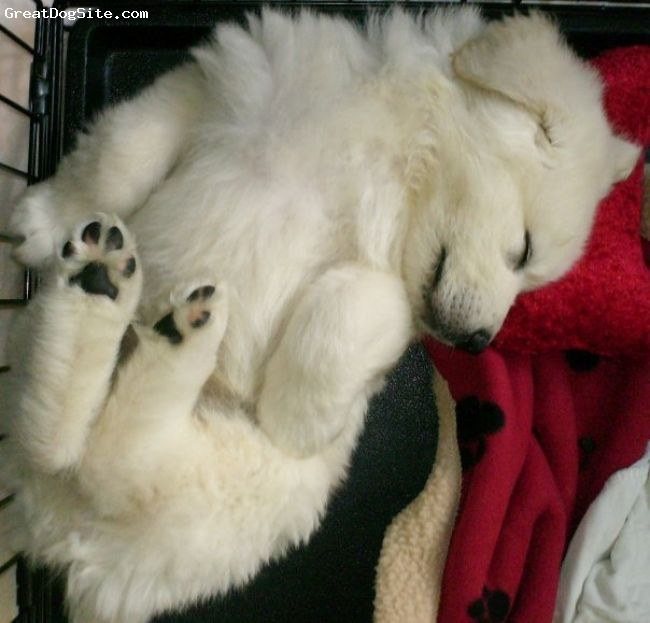 Get myself a Great Pyrenees. Closest thing to a polar bear I could find.