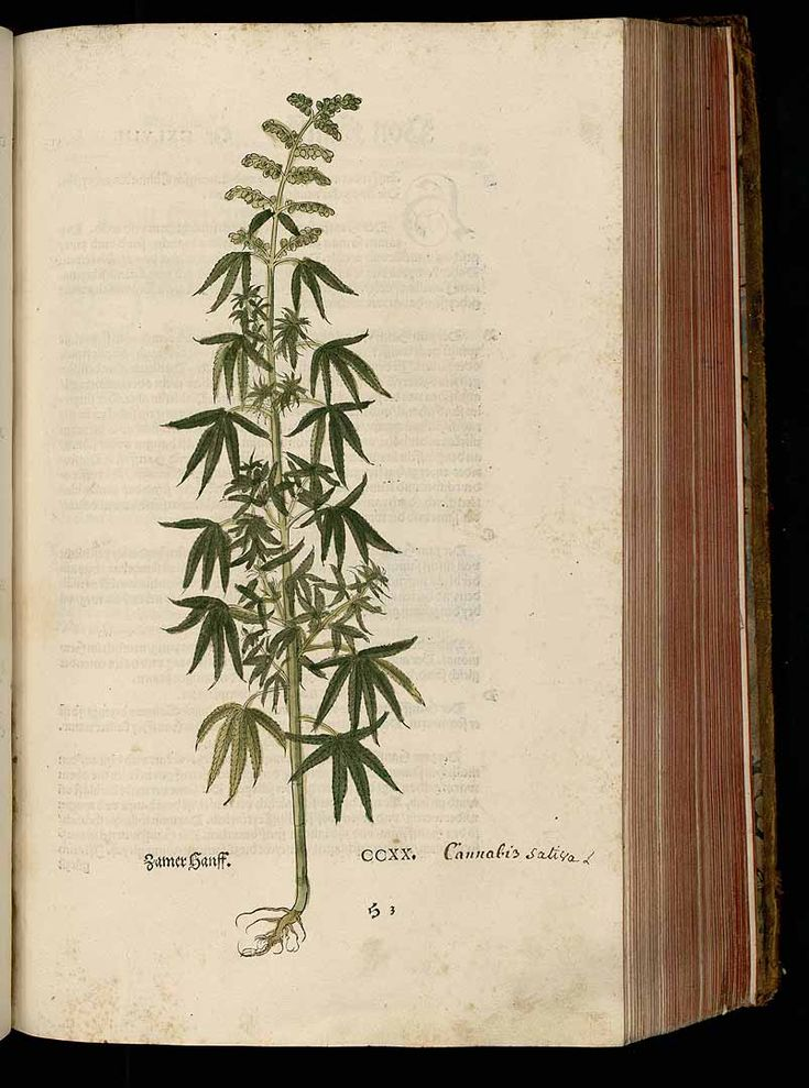 "Life form: herbaceous. Year 1543. Cannabis sativa L. Bhanga, Churrus, Gangika, Grass, Hashish, hemp, Marihuana, Pot Fuchs. Published 1542: ""De Historia Stirpium Commentarii Insignes"" (Notable Commentaries on the History of Plants) is a book by Leonhart Fuchs on herbal plants published in Basel. See More: http://plantgenera.org/illustration.php?id_illustration=184636&mobile=0&code_category_taxon=1"