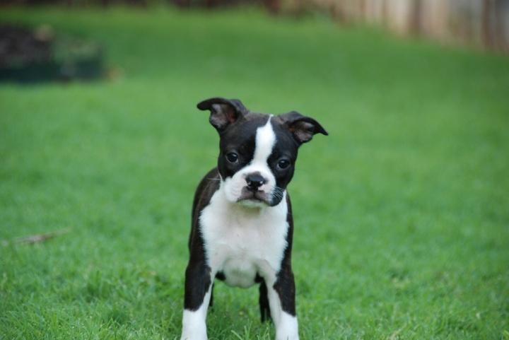Boston Terrier puppy!