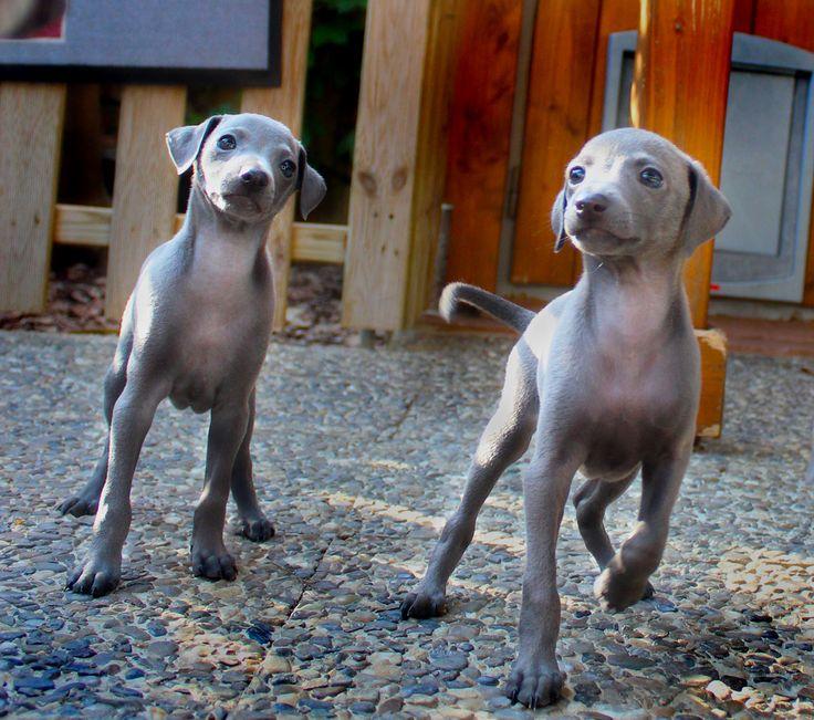 italian greyhound piccolo levriero italiano   by superfagiolino