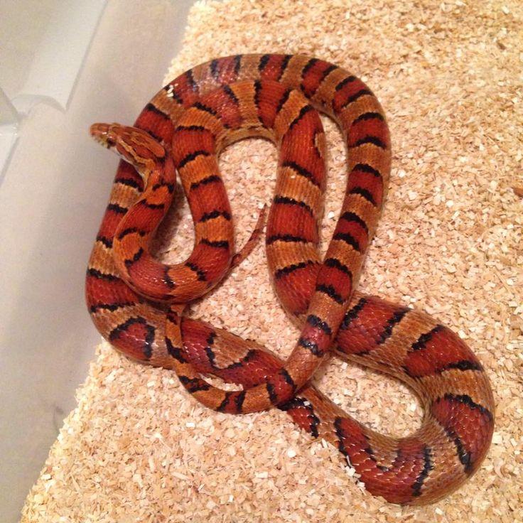 classic corn snake - photo #36