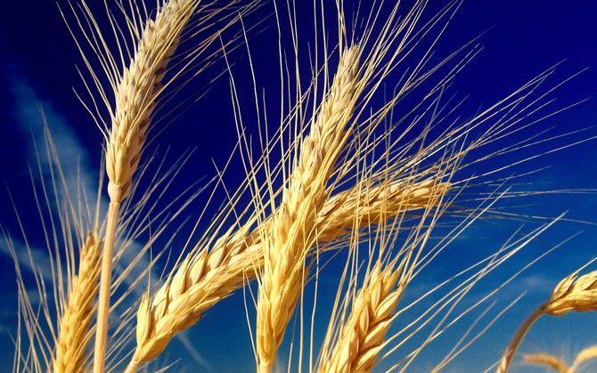 Wheat Fields 24., Пшеничные поля, Обои